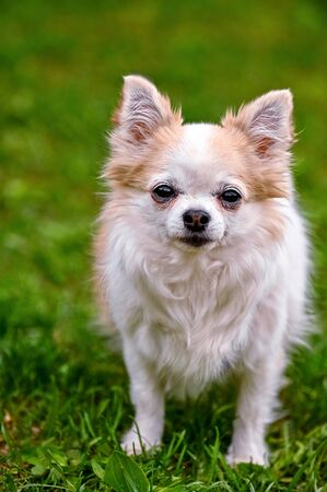 adorable adult white with red chihuahua dog close-up portrait on green grass background