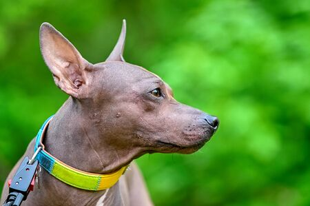 American Hairless Terriers dog profile portrait close-up with colorful collar on blurred green natural background Imagens