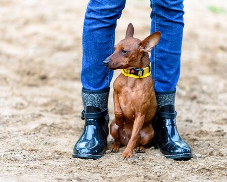 red Miniature Pinscher (Zwergpinscher, Min Pin) with cropped ears sitting between legs of owner shod with black gumboots on sandy background