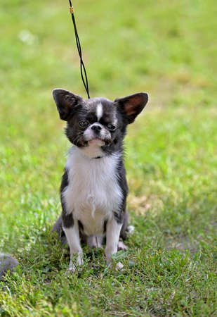 black and white chihuahua dog sitting on green grass with rope leash outdoors shot