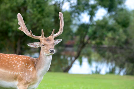 Male buck Fallow deer (Dama dama) portrait on pond and trees natural background Stock Photo