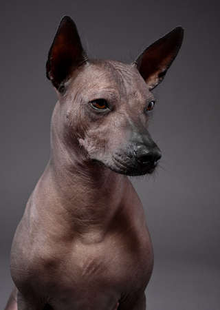 Xoloitzcuintle (Mexican Hairless Dog) three quarters portrait close-up on neutral gray background Stockfoto