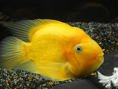 A large goldfish, according to legend, brings prosperity and prosperity.