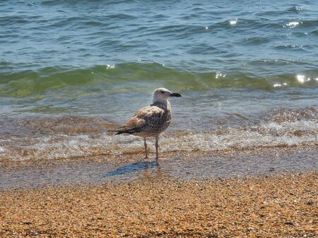 Seagull in search of food on its territory