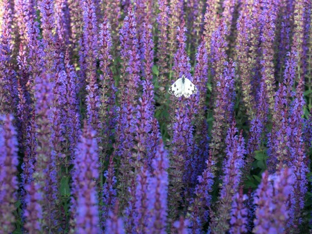 Salvia lilac blossomed and the butterfly sits on it alone Archivio Fotografico - 102837364