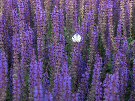 Salvia lilac blossomed and the butterfly sits on it alone Archivio Fotografico - 102771791