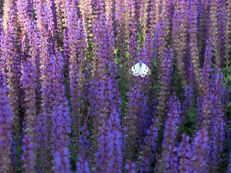 Salvia lilac blossomed and the butterfly sits on it alone Archivio Fotografico - 102763885