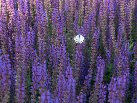 Salvia lilac blossomed and the butterfly sits on it alone Archivio Fotografico - 102694622