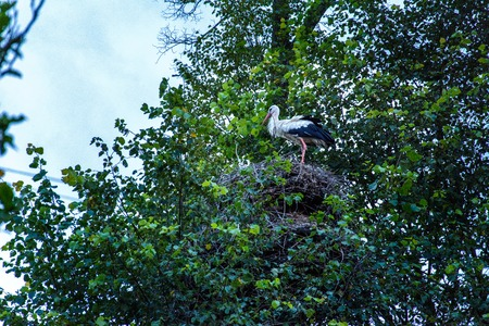 In Ukraine they say that when a stork sits down on the house of the owner, then the baby will necessarily be in the family