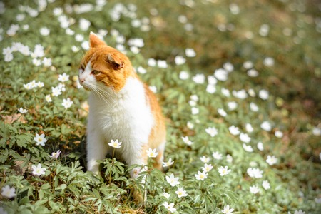 Beautiful red cat rests in wild spring flowers anemones