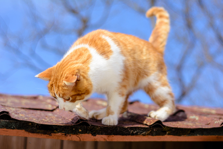 Amazing red cat hunting birds on the roof of the house