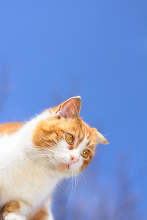 A magnificent red cat with yellow eyes close up on a blue sky background Stock Photo