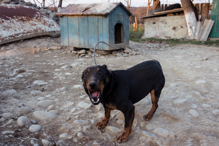 Black Doberman barking on the chain showing teeth and his anger