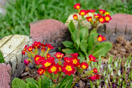 Red primrose, spring beautiful smelling flower, texture 2018