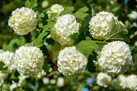 The blossoming guelder-rose in a spring garden 2018