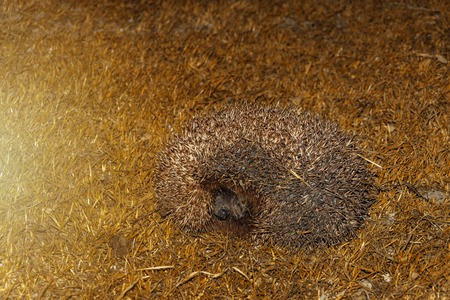 Forest wild hedgehog on a green lawn in the evening 2019