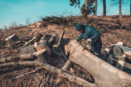 The logger cut the tree of ash from chainsaw to the wood, and prepares for the winter period Stock Photo