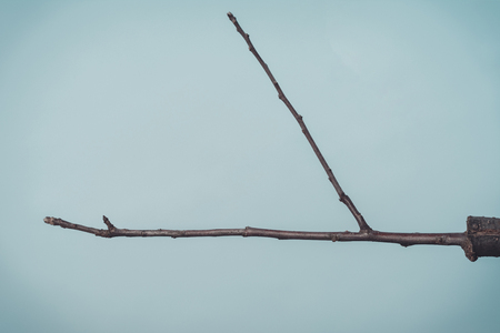 Branch of grafted tree in early spring, in which the buds already begin to blossom 2019