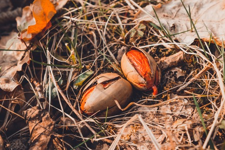 The acorn laid a root between the leaves in the forest. 2019