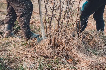 Close-up, gardeners in the spring are trying to remove a dry tree, pulling out its roots with a shovel in a large dry grass with leaves. 2019