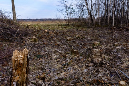 Ecological catastrophe, large-scale felling of the young forest. 2019