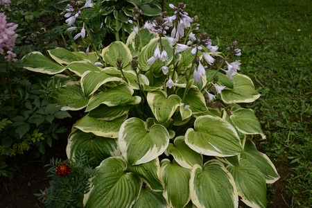 Hosta is a genus of plants commonly known as hostas, plantain lilies and occasionally by the Japanese name giboshi. 2019 Standard-Bild - 122886336