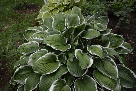 Hosta is a genus of plants commonly known as hostas, plantain lilies and occasionally by the Japanese name giboshi. 2019 Standard-Bild - 122886337