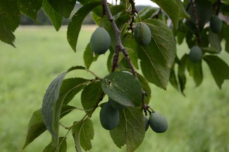 green plum in the farmers summer garden 2018