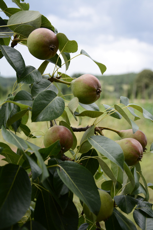 Sweet summer pears ripening on a tree 2018