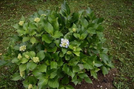 Hydranhea is beautiful in the countryside garden. 2019 写真素材 - 122886983