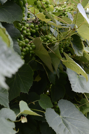 Green grapes hanging on the branches and unripe green grapes 2018