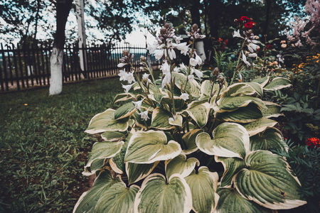 Hosta is a genus of plants commonly known as hostas, plantain lilies and occasionally by the Japanese name giboshi. 2019 Banco de Imagens