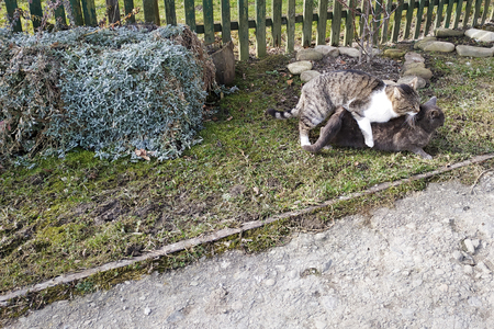 Coupling cats in a natural environment for them in the yard near the home of the owners. 2019 Foto de archivo - 124984752