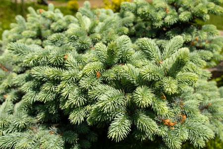 Magnificent green texture of a Christmas tree close up. 2019 Banque d'images - 125060730