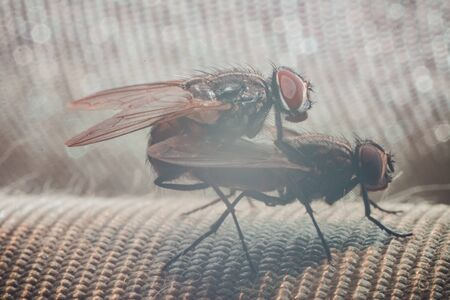 Pairing of two flies, close-up photography of the mating period of the flies. 2019