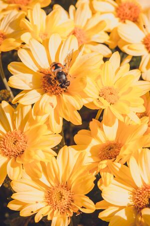 Summer and autumn blooming orange gerbera flowers background, bee on flower collects pollen. 版權商用圖片