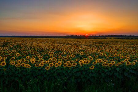 Sunflower field on sunset, Beautiful nature landscape panorama. 2019