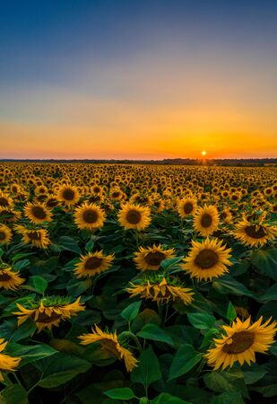 Sunflower field on fertile black earths of Ukraine, on the horizon a beautiful sunset, panorama. 2019 写真素材