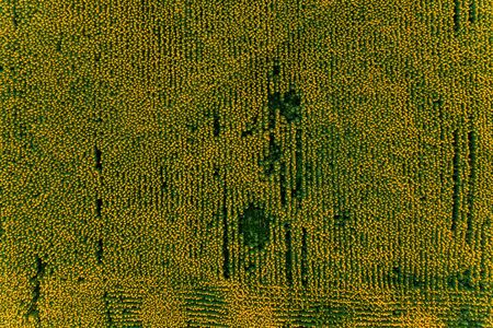 Field with blooming sunflowers aerial view, agrarian in rural areas. 2019 Stok Fotoğraf