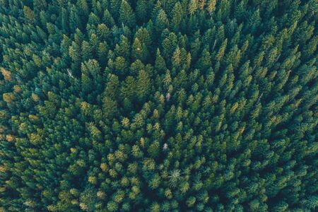 Spruce forest of the Ukrainian Carpathians, top view of picturesque centuries-old trees. 2019