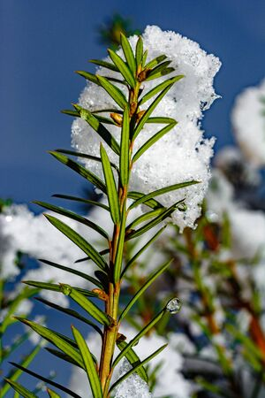 Snow on fir tree close up on the sky. 2019 版權商用圖片