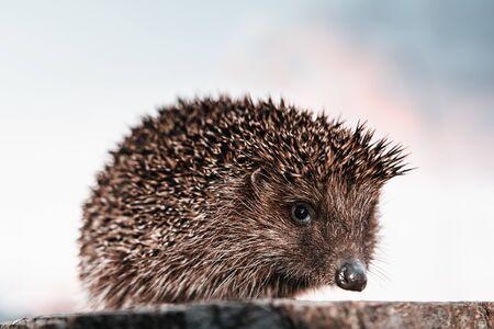 Hedgehog in the Carpathian region close up, sitting on a hemp. 2019 写真素材