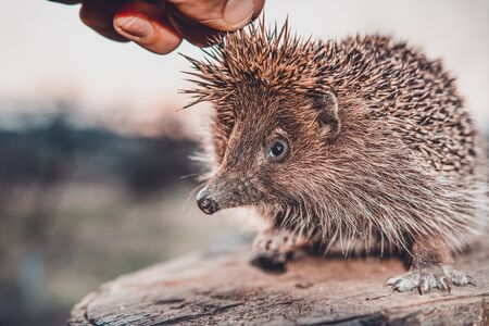 Men's hands are holding a hedgehog who has curled up in a ball, the sunset is visible on the horizon. 2019