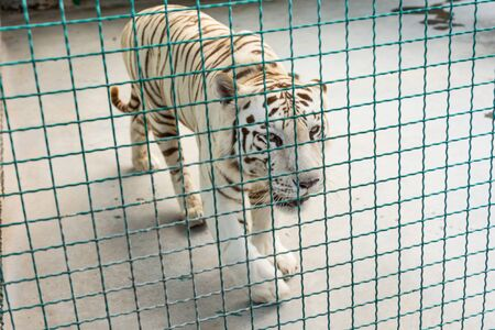 White beautiful majestic tiger in captivity. 2019