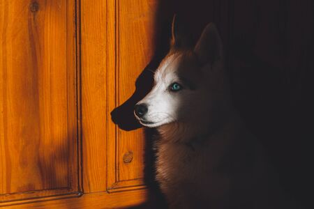 Siberian beautiful husky puppy, portrait at home.2020
