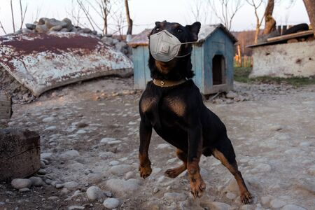Dog Dobermann breed in a medical mask on a chain forced to starve, symbolizing the crisis in the zoo industry during the coronavirus pandemic new Zdjęcie Seryjne