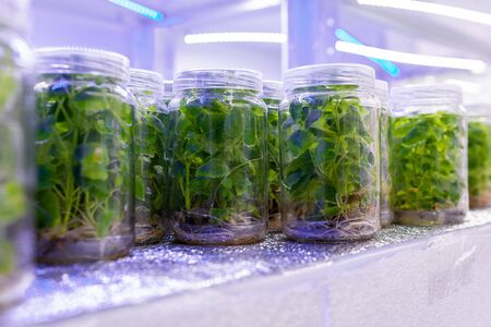 Growing paulownia plants under sterile conditions. Micropropagation of flowers and trees in the laboratory under artificial lighting 2021. Фото со стока