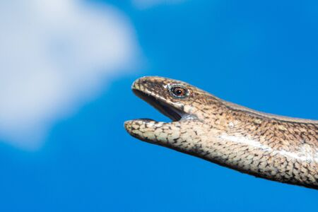 A man holds a legless lizard with a fingers on a background of blue sky. Macro photography of reptiles in the natural environment 2021. 写真素材