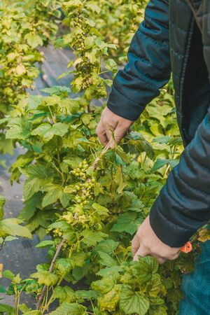 Unripe currant bush in the spring. The farmer inspects the currant bushes for prevention. Agrofiber on a farm for growing shrubs.