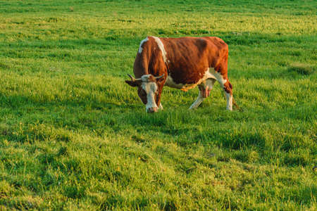 In a Ukrainian village, a dairy cow grazes on a leash. Breeding cows in the countryside.